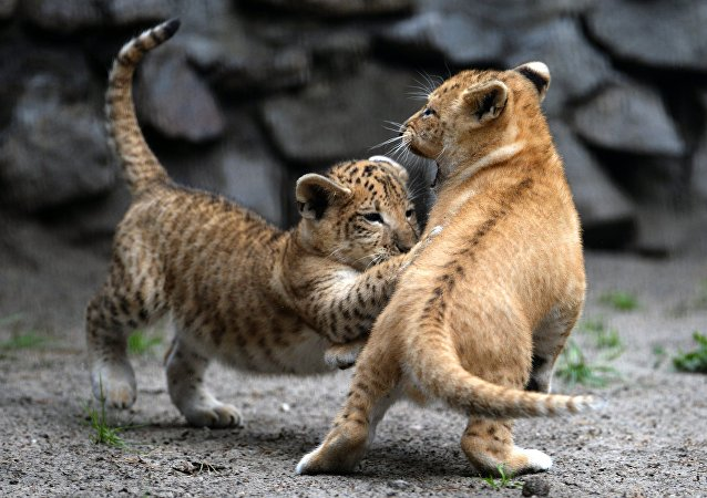 Liliger cubs in their enclosure at the Novosibirsk Zoo