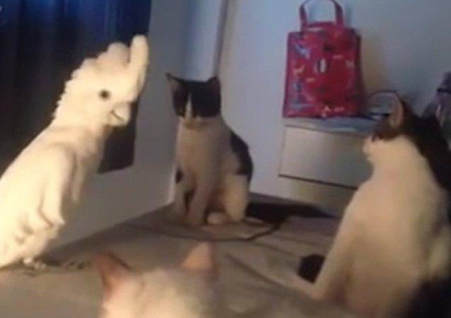 Parrot's Amazing Cat Impression