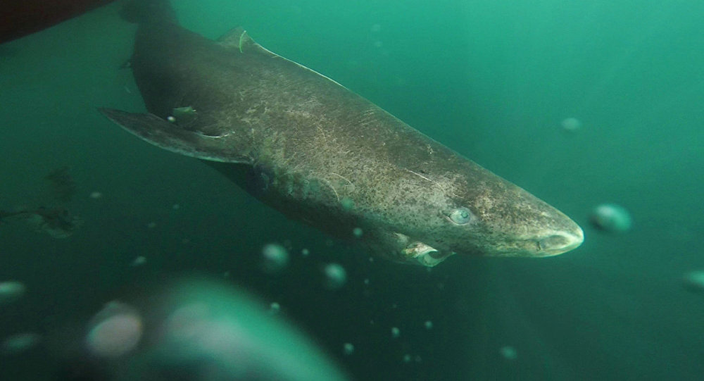 This undated photo made available by Julius Nielsen on Aug. 11, 2016 shows a Greenland shark slowly swimming away from a boat, returning to the deep and cold waters of the Uummannaq Fjord in northwestern Greenland during tag -and- release program in Norway and Greenland