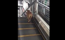 Dog Treadmill Escalator