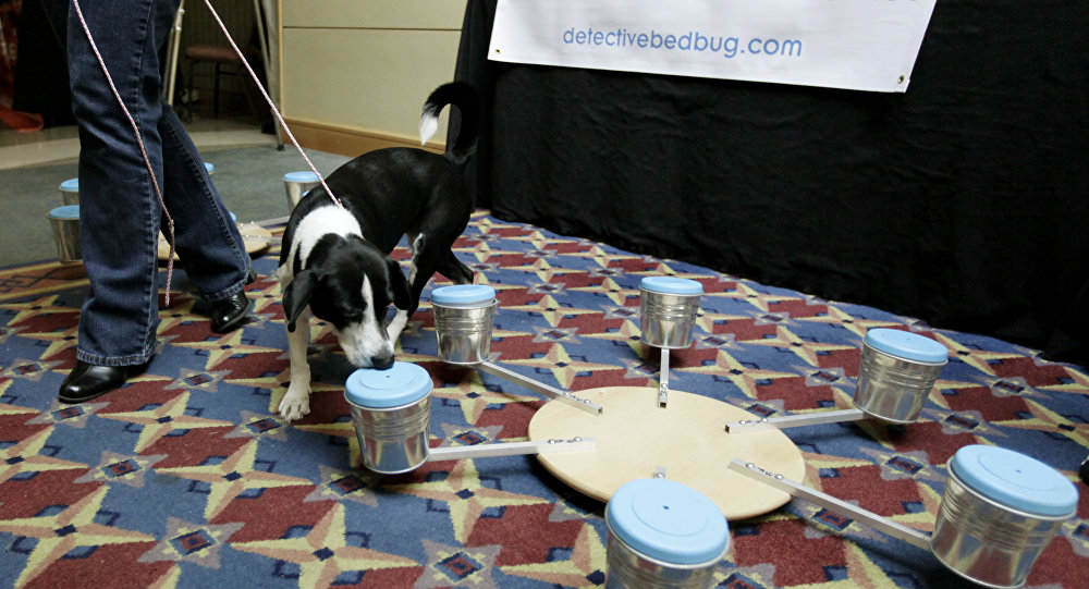 Bella, a 3-year-old beagle/border collie mix that works for Detective Bed Bug, a canine scent detection service, sniffs out a container with a bed bug in it, during the first North American Bed Bug Summit, Tuesday, Sept. 21, 2010, in Rosemont, Ill.