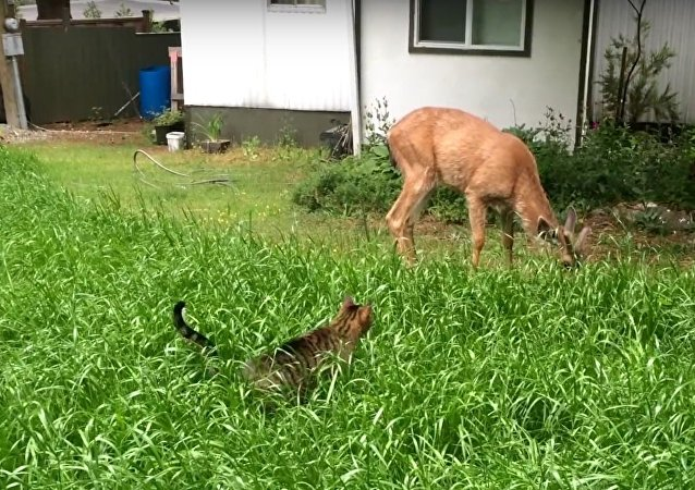 Cat Stalks Deer