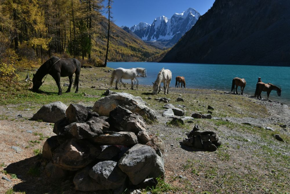 Horses graze on the bank of the Nizhnee (Lower) Shavlinskoye Lake in Kosh-Agachsky District of the Altai Republic.