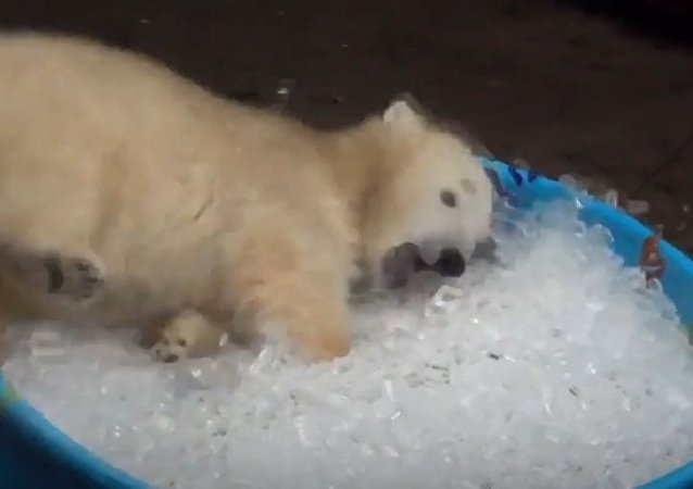 Adorable Polar Bear Cub Playing In Ice