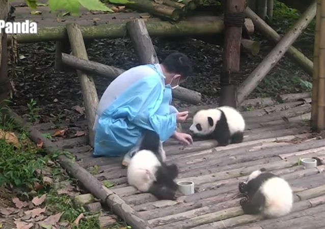 Baby panda has a monopoly on acting spoiled