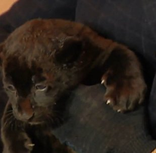 Meet Russian Zoo's Newborn Black Jaguars