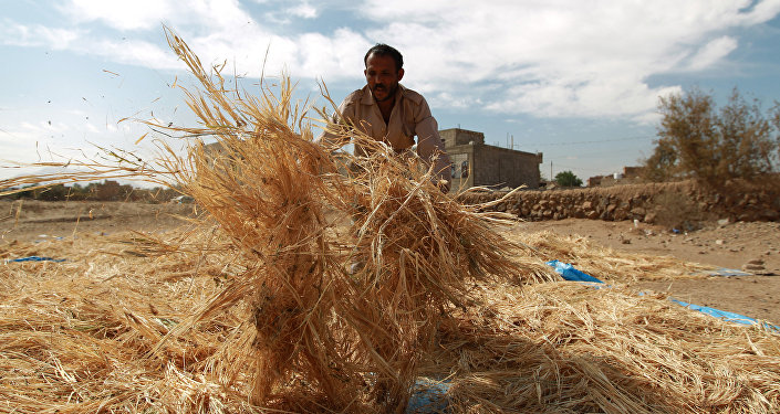 A Yemeni farmer gathers threshed wheat stalks during the harvest season at a village on the outskirts in the capital Sanaa on November 18, 2014