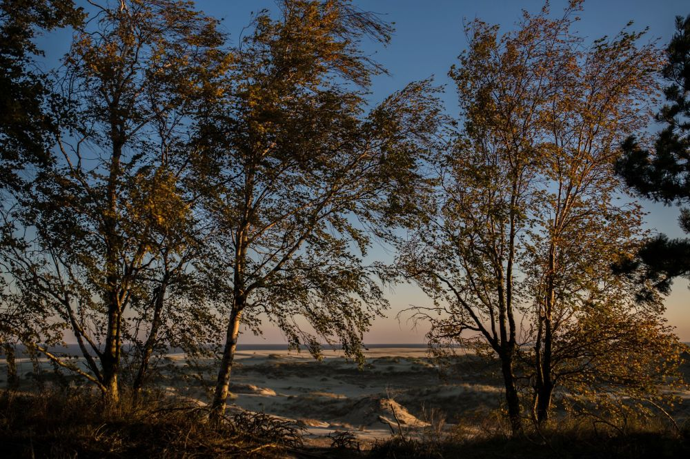 Trees in the Curonian Spit National Park.