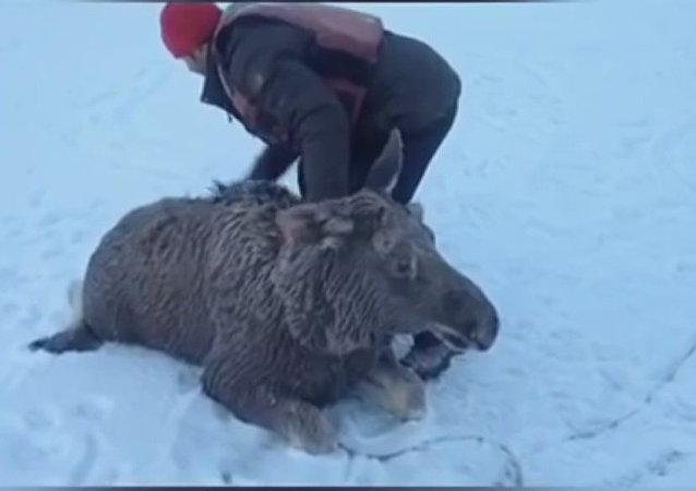 Russian fishermen save young moose that fell through ice