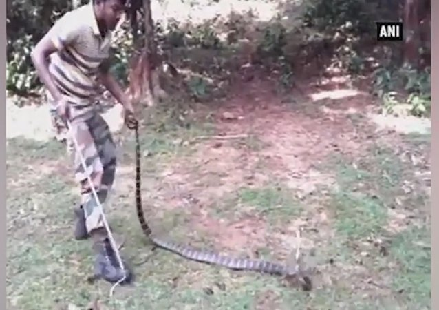 Rare king cobra rescued in Odisha