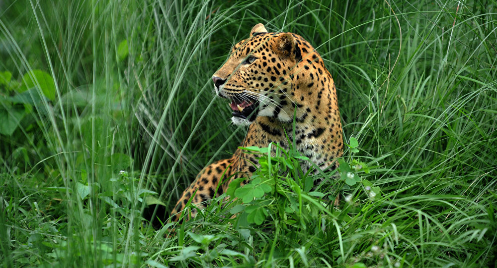 A leopard sits at the rehabilitation centre of the Jaldapara Wild Life Sanctuary, some 165 kms from Siliguri on July 4, 2009