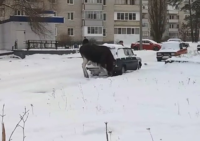 Moose sniffs exhaust fumes