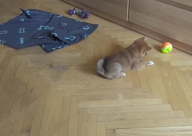 Cute shiba inu puppy vs ball