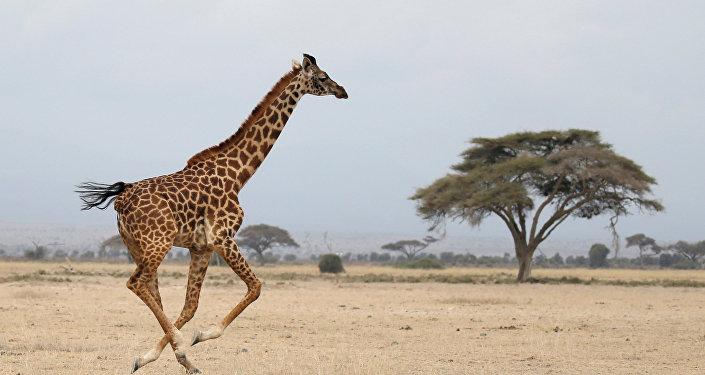 A giraffe runs in Amboseli National park, Kenya August 26, 2016.