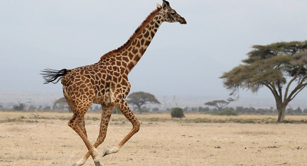 A giraffe runs in Amboseli National park, Kenya August 26, 2016.