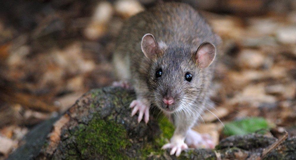 Brown Rat. Paris - France