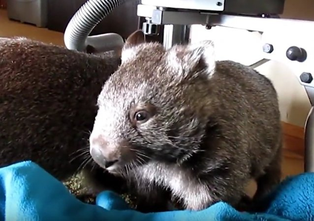 Wombat Uses Post to Rid Itself of Itch