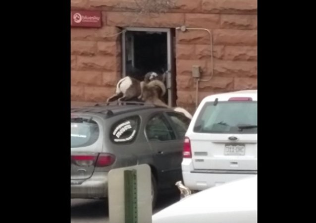 Bighorn sheep breaks glass door