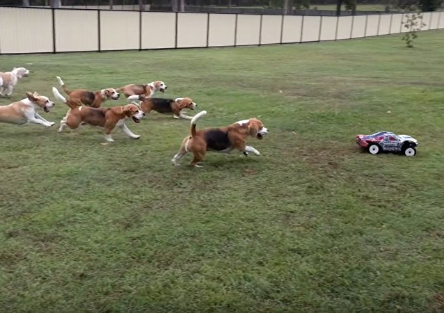 Asalei Beagles afternoon exercise
