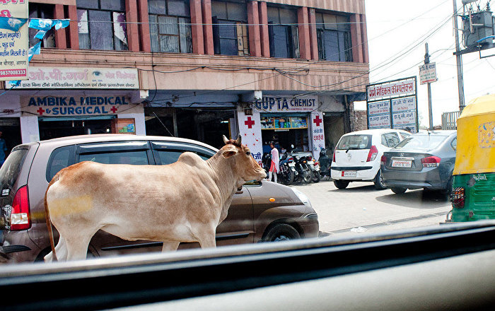 Mysterious Cow Deaths in India's Uttar Pradesh State Leave Villagers Agitated