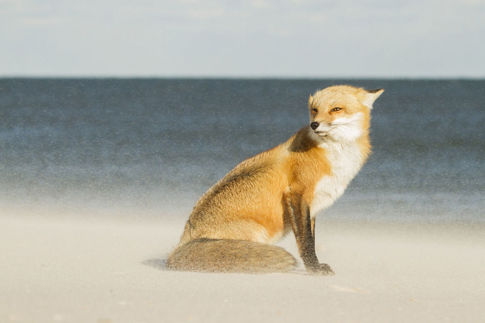 On a particularly windy day, this fox was sitting only a few yards away from the ocean as sand pelted against his fur (Island Beach State Park, New Jersey, US) by Courtney Moore (age 18).
