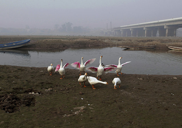 Fowl gather along a backwateer of the Ravi River, in Lahore, Pakistan, Wednesday, Dec. 14, 2016