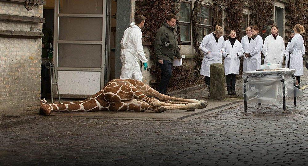 Giraffe Copenhagen