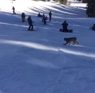 Lynx spotted at Purgatory Resort