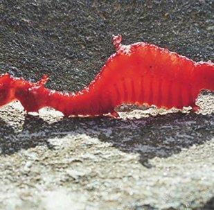 Phyllopteryx dewysea - Ruby Seadragon first seen alive
