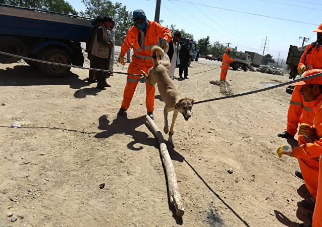 In this photograph taken on June 24, 2014, Afghan municipal workers catch a stray dog with a steel hook and wooden bars on a street of Kabul