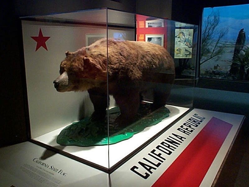 Mascot of the bear flag republic but reputedly its last brown bear on  display at the California Academy of Sciences