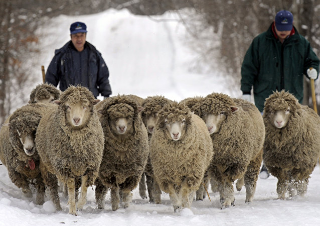 Sheep stroll on a road covered with snow for exercise, at the National Agricultural Research Center for the Hokkaido Region in Sapporo, northern Japan. (File)