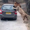 Lion Tries to Hitch a Ride