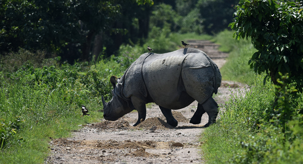 Indian one-horned rhino crosses a path in Kaziranga National Park, some 250kms east of Guwahati (File)