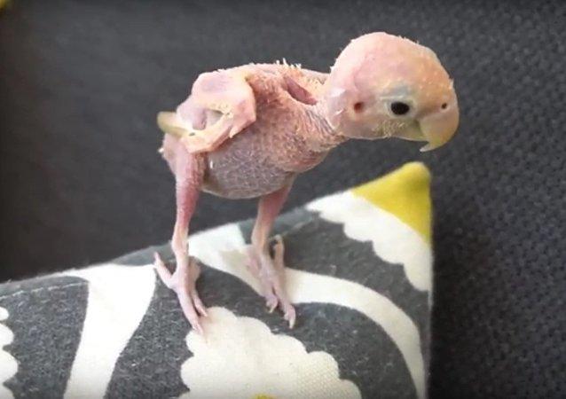 Sick Bald Bird Becomes Internet Celebrity (PHOTOS)