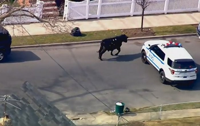 NYPD Chases Runaway Cow Through NYC Streets