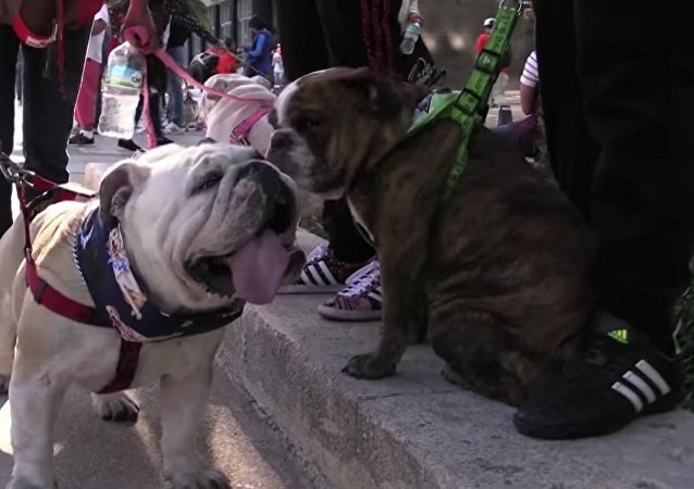 950 Bulldogs Set Pawsitive Guinness World Record
