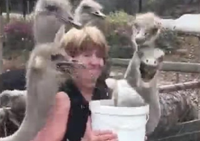 Hilarious moment a tourist is mobbed by ostriches as she offers them food