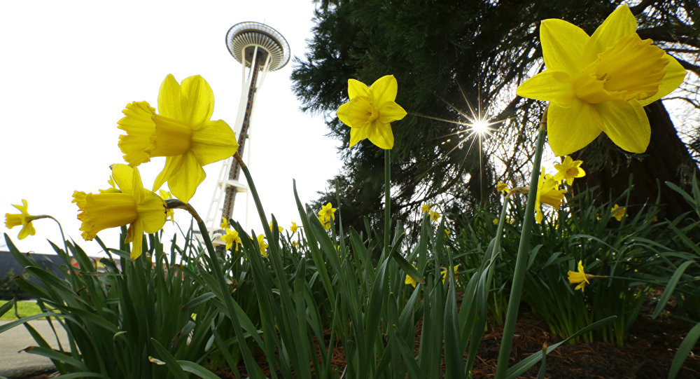 Daffodils bloom near the Space Needle on a rare sunny and rain-free first day of spring in Seattle, Monday, March 20, 2017.