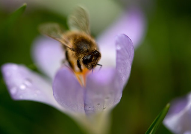 A bee collects pollen from a crocus on March 20, 2017 in Munich, southern Germany.