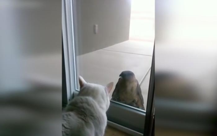 Cat vs. Hawk: Who Will Win?