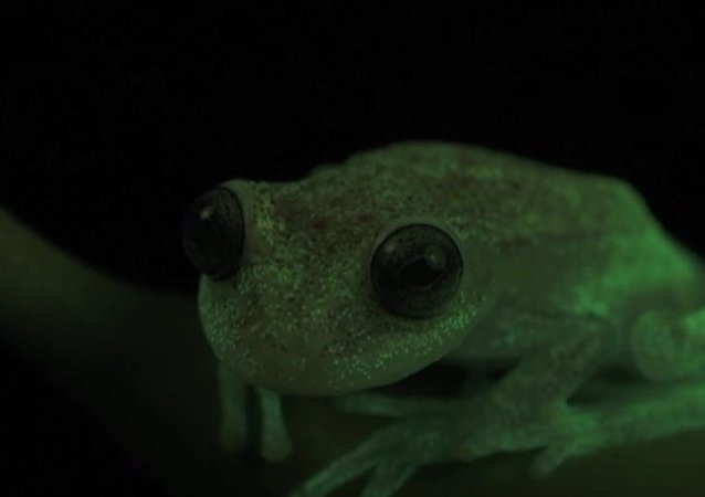 Meet World's First Fluorescent Frog