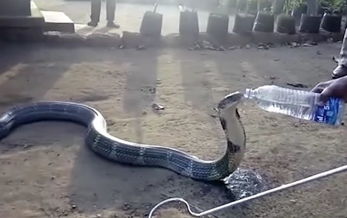 Rescued Cobra Drinks Water From Bottle