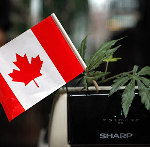 A cash register is adorned with a Canadian flag and imitation marijuana leaves at the BC Marijuana Party Headquarters in Vancouver, British Columbia, Tuesday, Feb. 23, 2010.