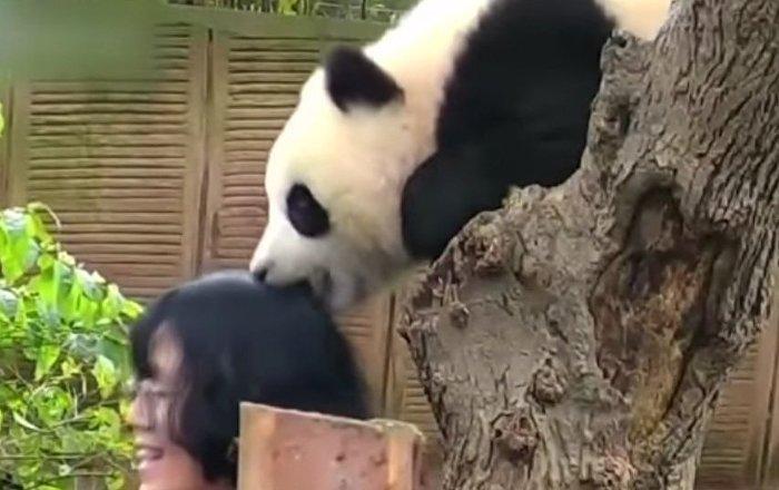 Cute panda that does not like Selfie