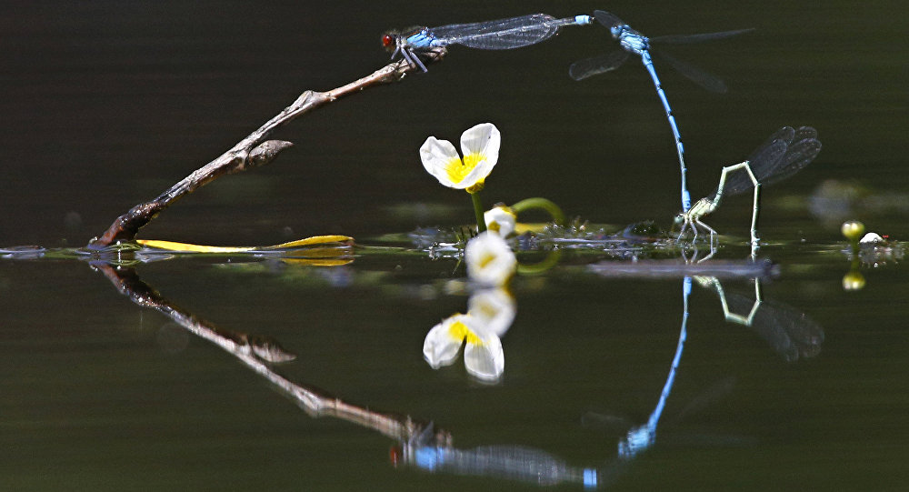 In this photo taken on Thursday, June 16, 2016, dragonflies fly above surface of a lake on a sunny day in the village of Viazynka, some 40 km (25 miles) northwest of Minsk, Belarus.