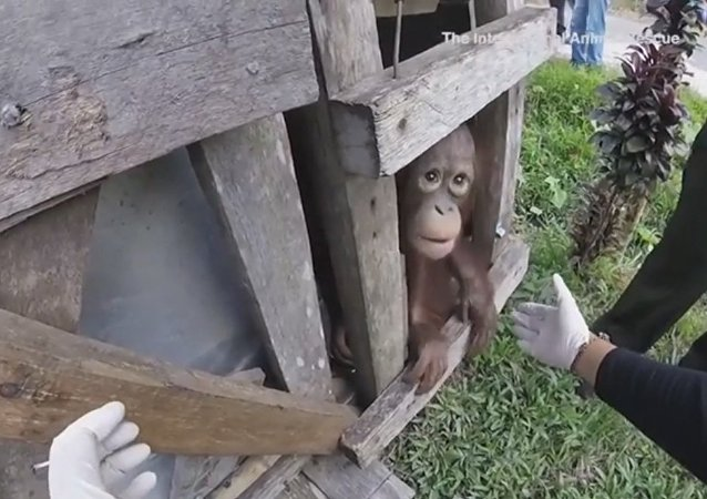 Abused Orangutan released after 2 years