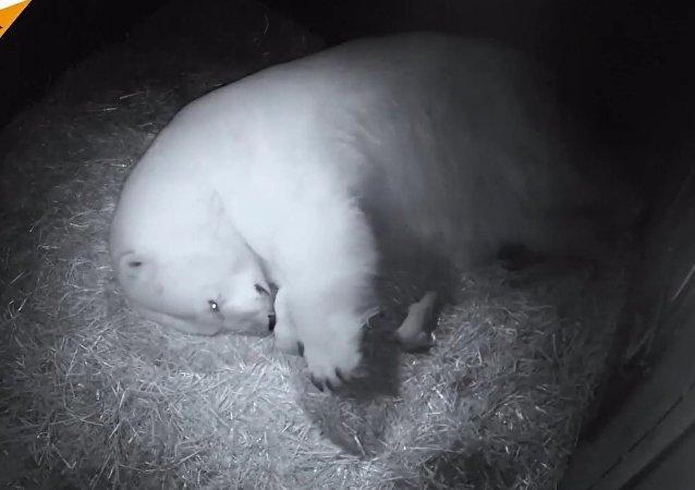 Polar Bear Twins Were Born At a Marine Animal Park in Australia