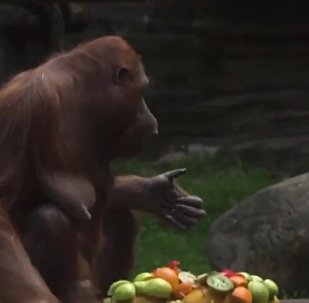 Moscow Zoo's Orangutan Celebrates 32nd Birthday
