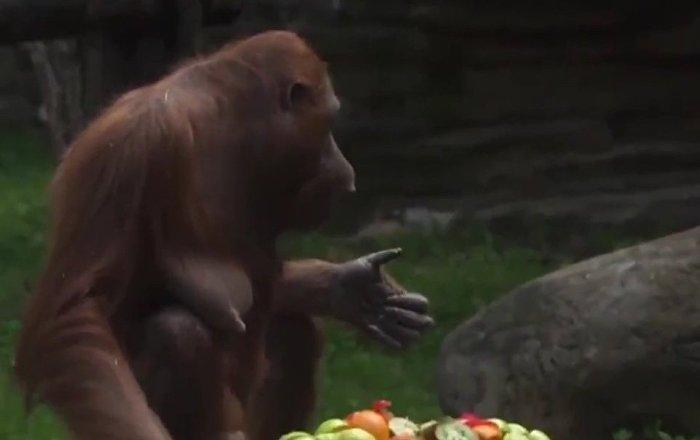 Moscow Zoo's Orangutan Celebrates 32nd Birthday
